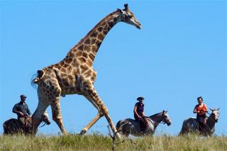 Riding with Giraffe on a Wild Coast Horse Safari