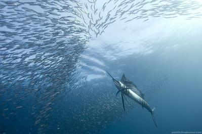 Sailfish: Sardine Run off PSJ