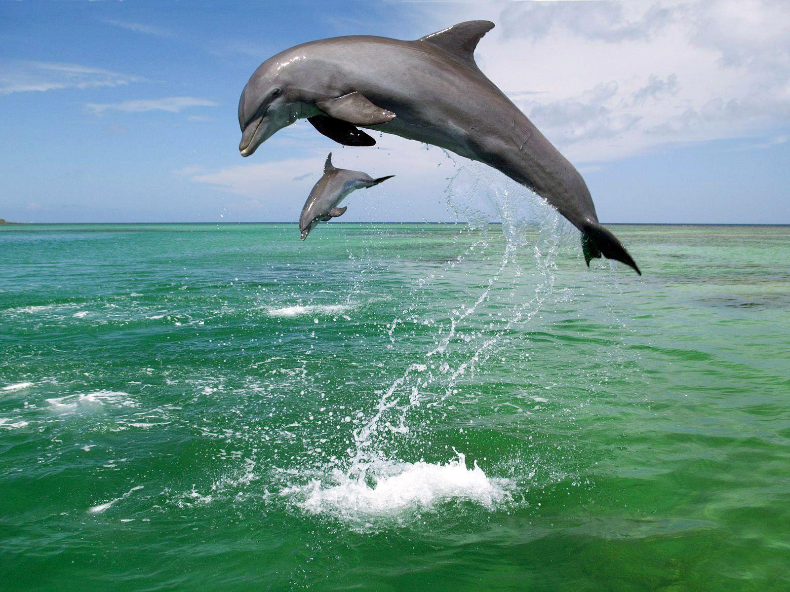 Bottlenose Dolphin Tursiops Truncatus