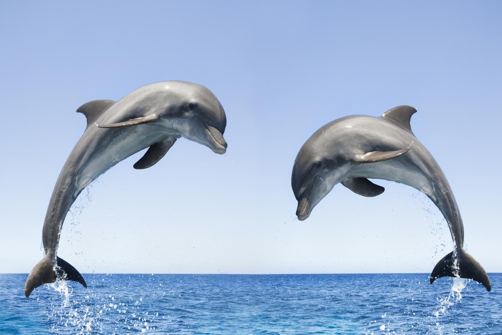 Bottlenose dolphin wild coast for Dolphin fish pictures