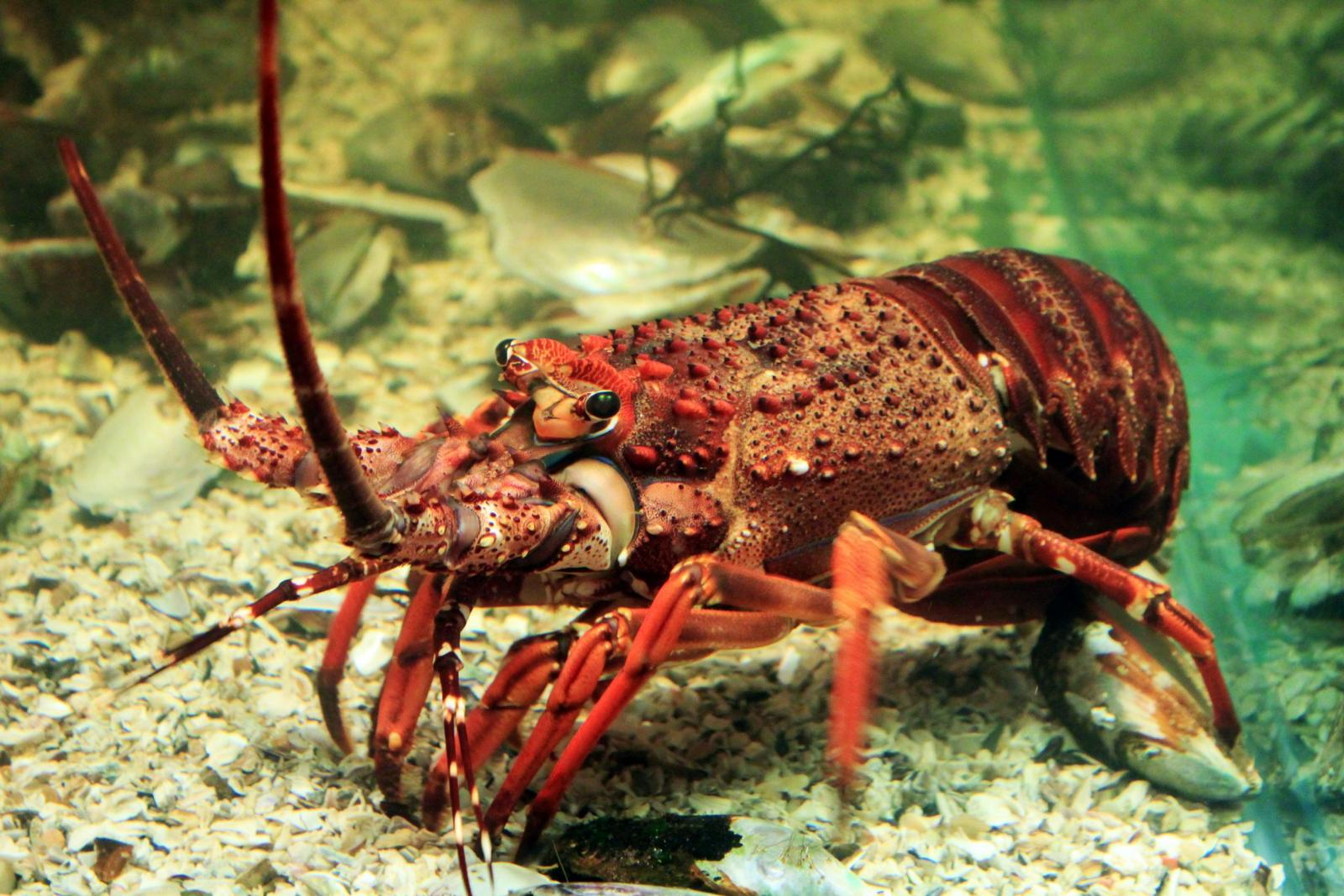 East Coast Rock lobster Crayfish. (Panulirus homarus) | Wild Coast