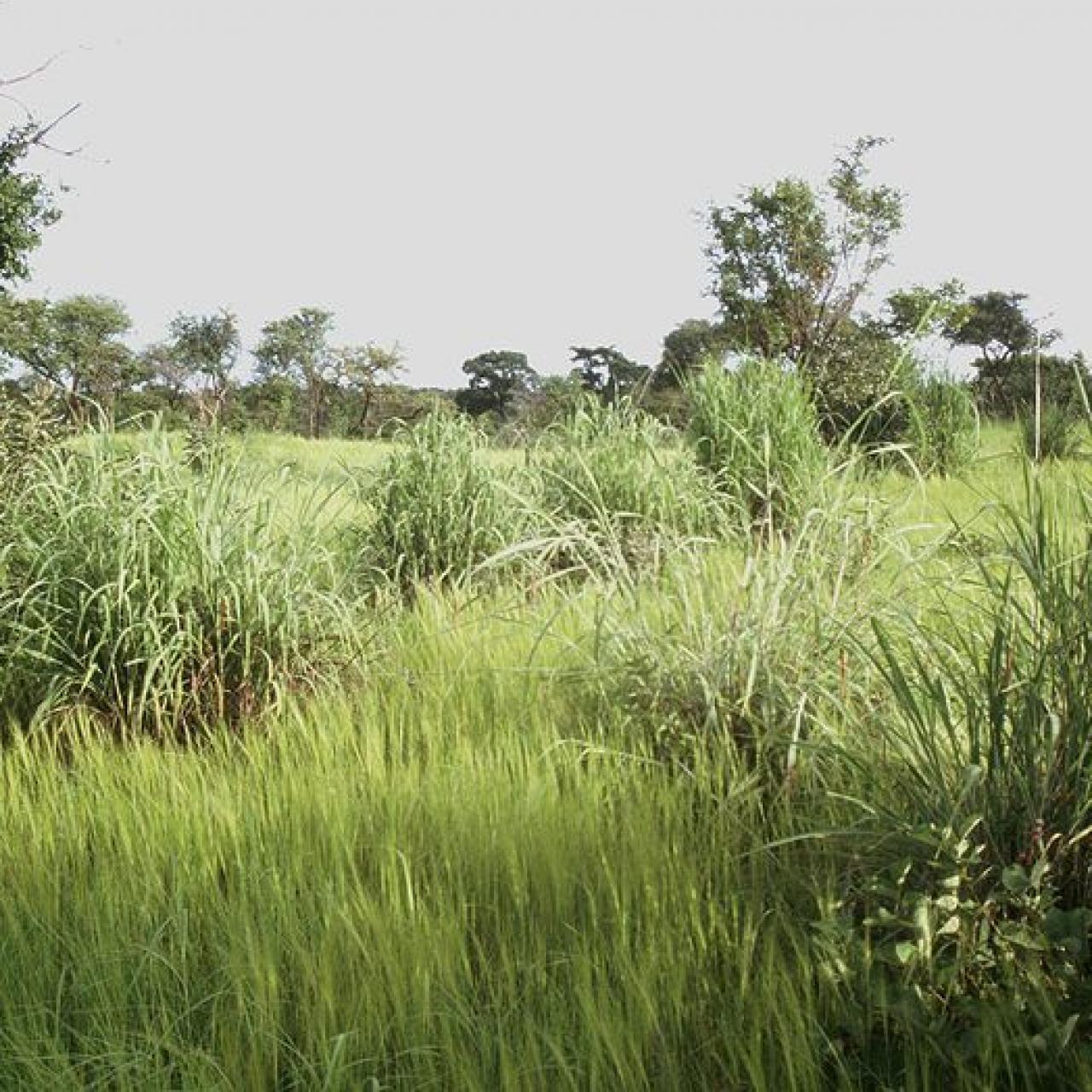 Andropogon gayanus (Tambuki grass)
