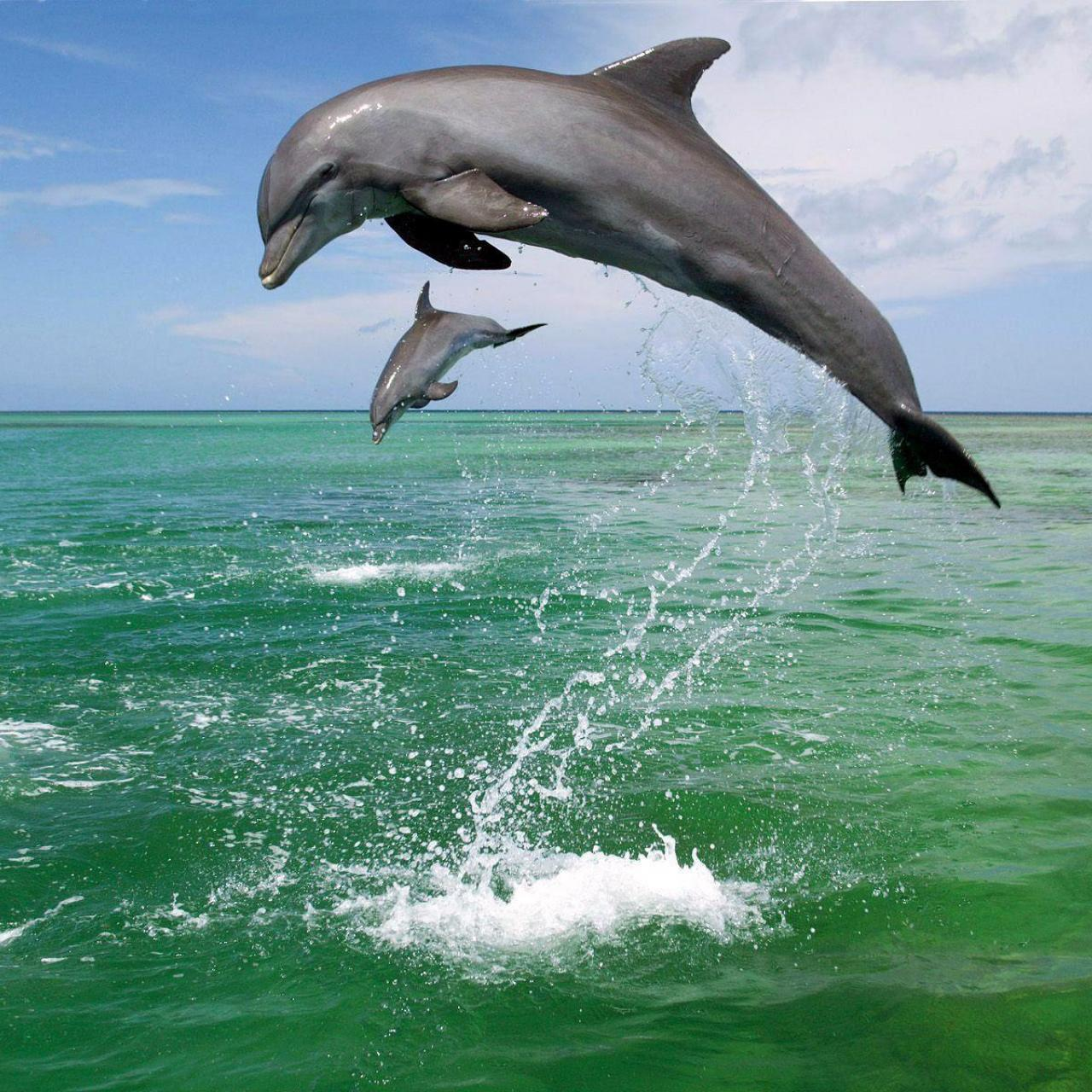 Bottlenose Dolphin (Tursiops truncatus)