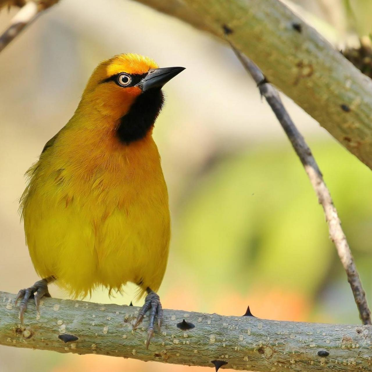 Spectacled Weaver (m) by Trevor Charters