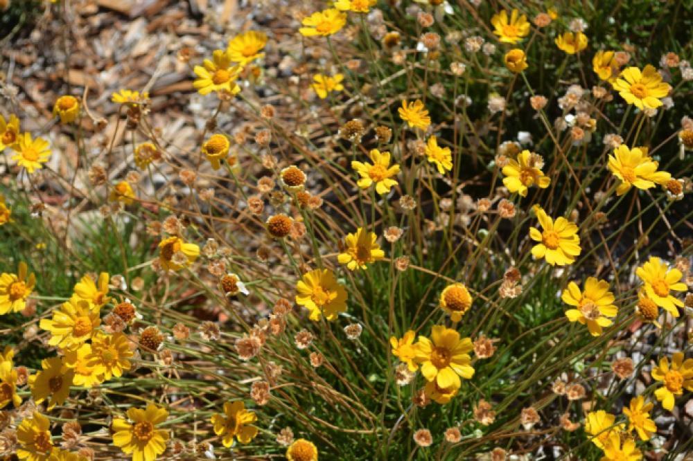 Tall yellow daisy