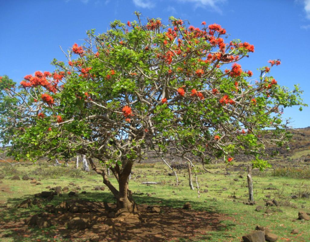 Erythrina lysistemon (Coral tree)