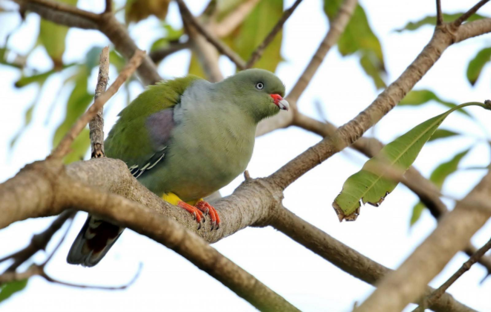 African Green Pigeon by Trevor Charters