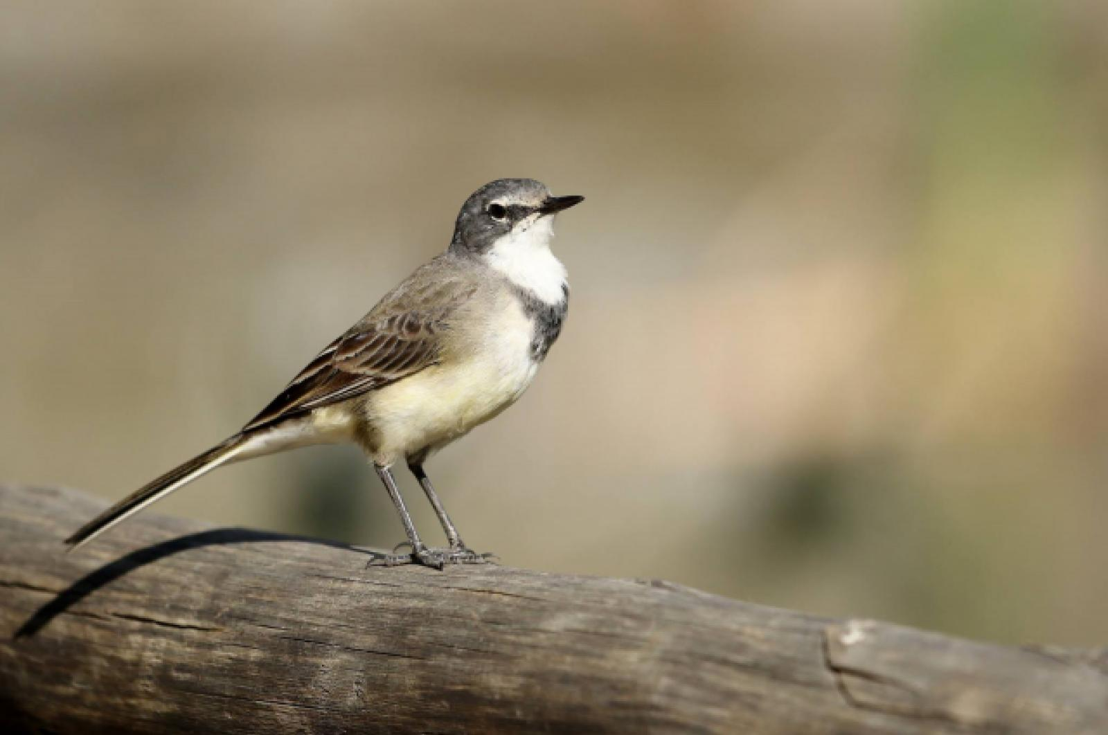 Cape Wagtail (f) by Trevor Charters
