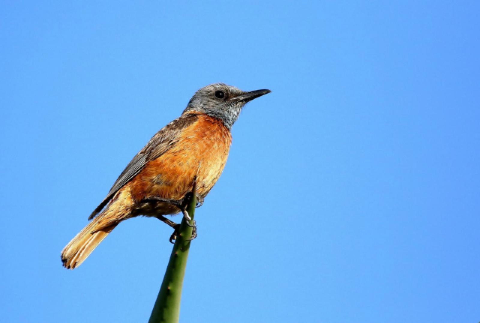 Cape Rock Thrush (m) by Trevor Charters