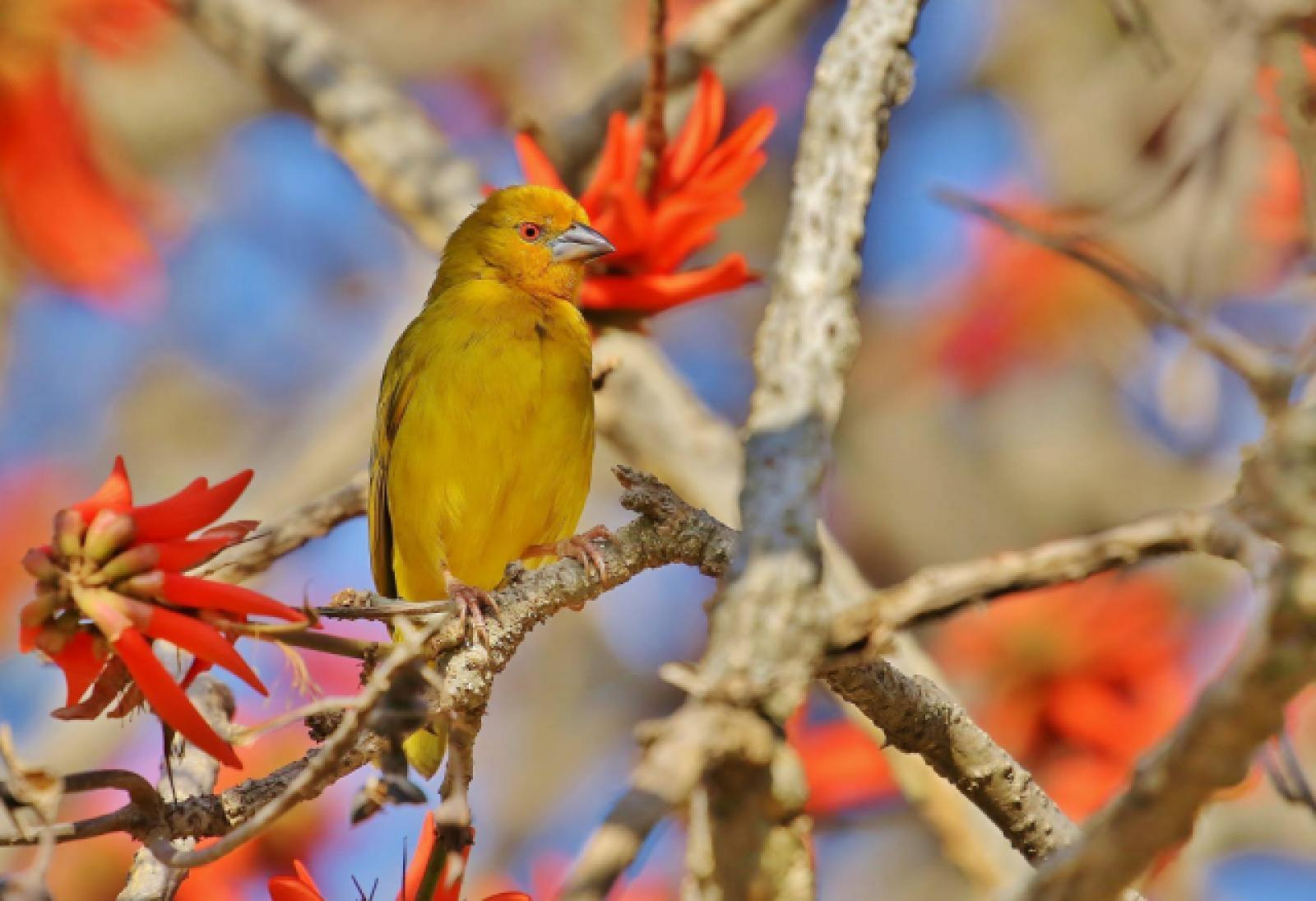 Yellow Weaver by Trevor Charters