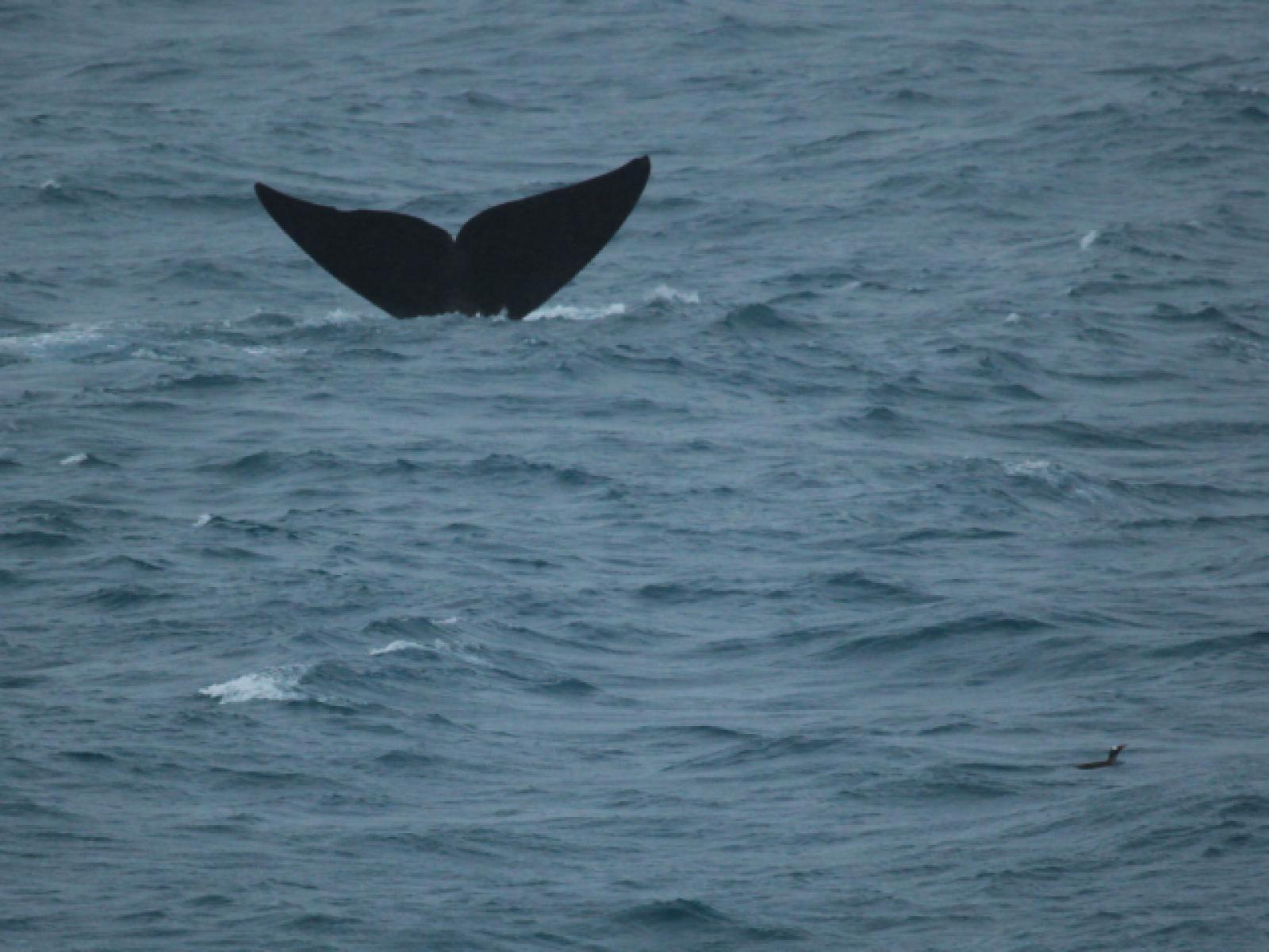 Southern Right Whale and Gentoo Penguin