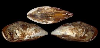 Brown mussel (Perna perna)
