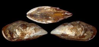 Brown mussel (Perna perna)