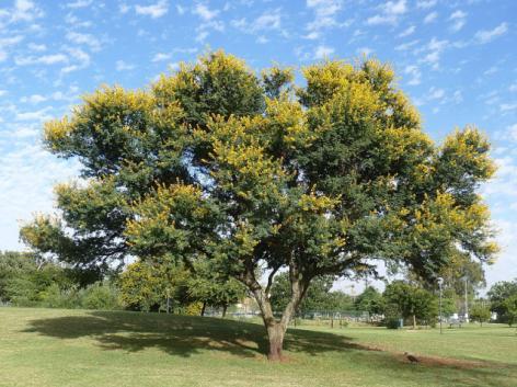 Acacia NOT Mimosa