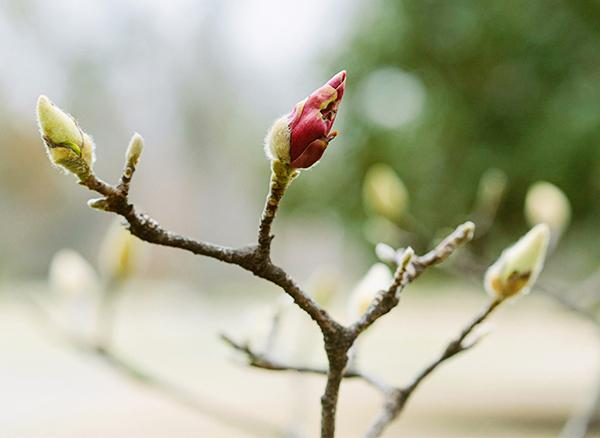 Buds (of a magnolia plant)