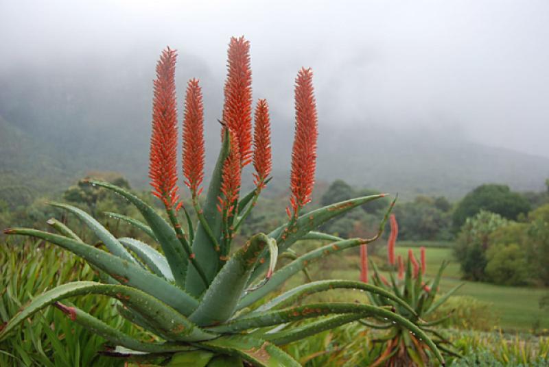 Aloe ferox Winter bloom