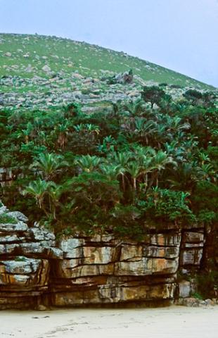 Jubaeopsis caffra (Pondo coconut, Dwarf Pondoland palm, Mkambati palm)