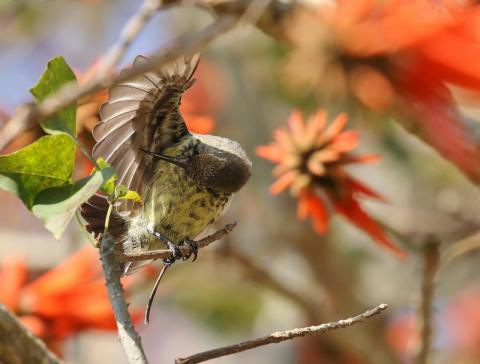 Amethyst Sunbird Female by Trevor Charters