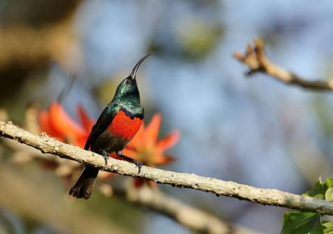 Great Double Collared Sunbird (m) by Trevor Charters