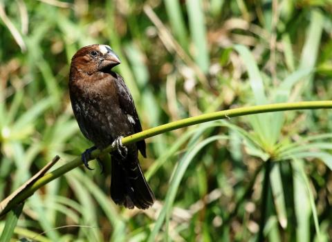Thick Billed Weaver by Trevor Charters