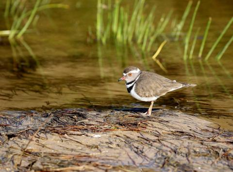 Three Banded Plover by Trevor Charters