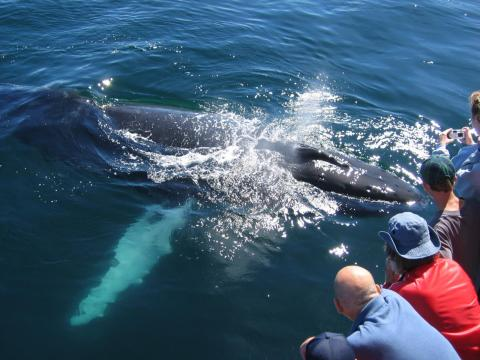 Baby Southern Right whale