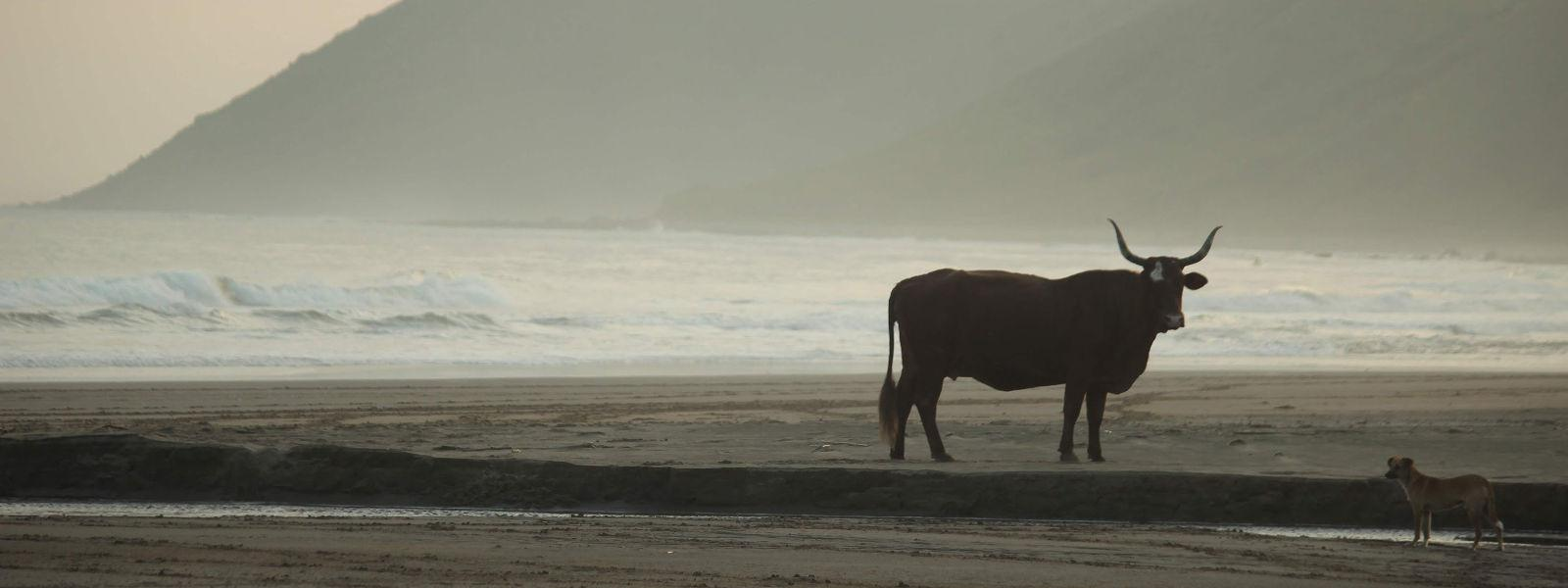 Cow and dog on  a beach - Wild Coast scene